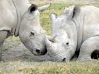 Credit to rhinoconservation.org
